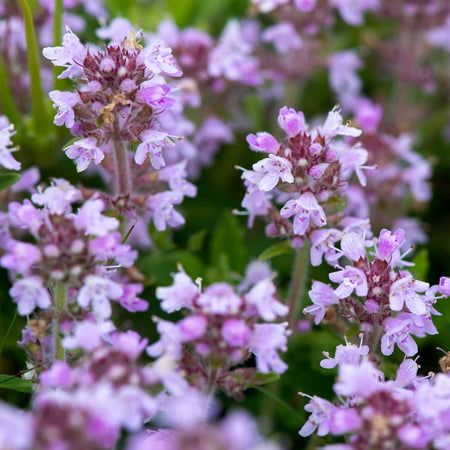Creeping Thyme Flower Seeds - .25 Oz - Perennial Flower Seeds - Thymus serphyllum - Ground Cover ()