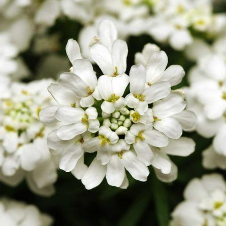 Candytuft Iberis Flower Garden Seeds Whiteout 100 Seeds