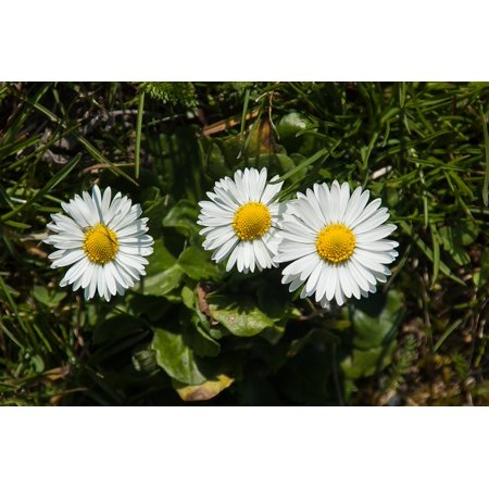 LAMINATED POSTER White Daisy Flower Meadow Flowers Nature Plant Poster Print 24 x 36