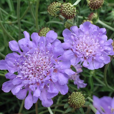 Image of Better Homes 2.5qt Bhg Scabiosa Ryl Rby