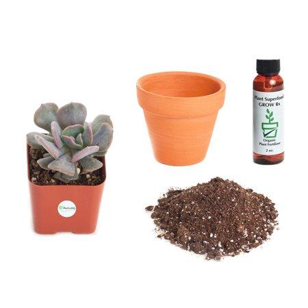 Echeveria Plant - Shop Succulents Echeveria 'Cubic Frost' 2In Plant Kit