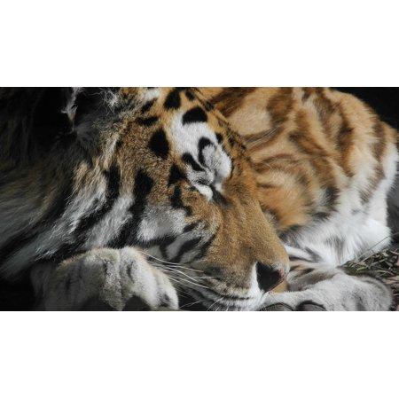 LAMINATED POSTER Wild Animal Stripes Cat Paw Tiger Tired Zoo Poster Print 24 x 36 (Paw Print Stripe)