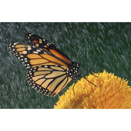 Sunflower Resin - Monarch Butterfly (Danaus Plexippus) In Rain On Sunflower Nova Scotia Stretched Canvas - Thomas Kitchin & Victoria Hurst  Design Pics (17 x 11)