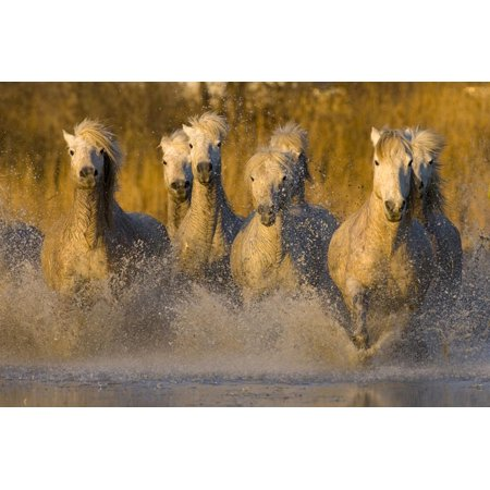 Seven White Camargue Horses Running in Water, Provence, France Print Wall Art By Jaynes Gallery ()