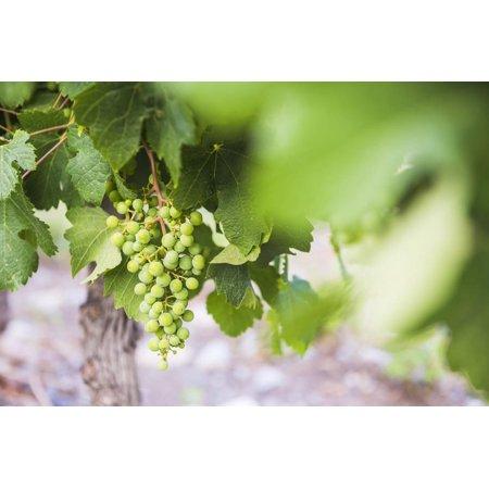 Grapes Hanging on a Vine at Bodega La Azul, a Wine Region in Mendoza Province, Argentina Print Wall Art By Matthew