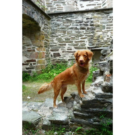 Canvas Print Ruin Dog Nowa Scotia Duck Tolling Retriever Tollers Stretched Canvas 10 x 14