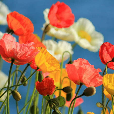 California Poppy Flower Seeds Mission Bells 4 Oz Seed Pouch
