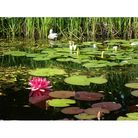 Frame Dust (Framed Art for Your Wall Green White Water Lilies Dust Pink Water Grass 10x13 Frame)