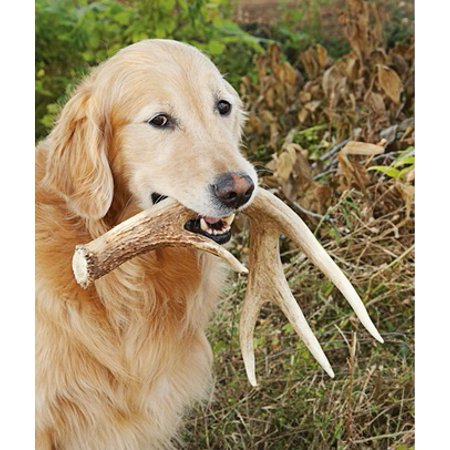 Dog Bone Real Shed Antler Shed Hunting Accessory Db Fa L