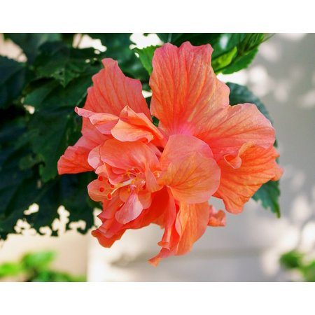 Canvas Print Orange Flower Double Hibiscus Plants Pistil Petals