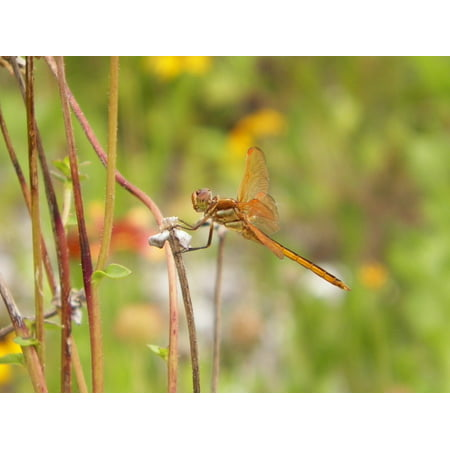 Laminated Poster Bug Summer Animal Dragonfly Wing Insect Nature Poster Print 24 x 36