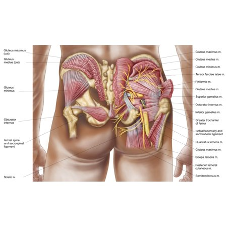 Anatomy of the gluteal muscles in the human buttocks Canvas Art ...