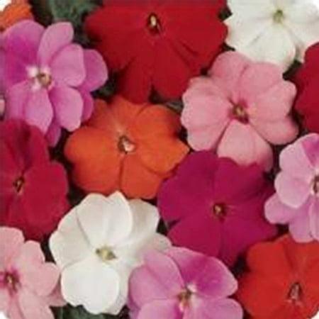 Purple Garden (New Guinea Impatiens Flower Garden Seeds - F1 Divine Series - Mix - 100 Seeds - Annual Flower Gardening Seeds - Impatiens hawkeri)