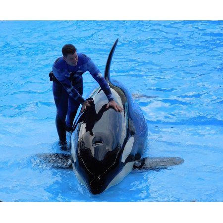 Canvas Print Show Seaworld Killer Whale Animal Orca Stretched Canvas 10 x (Orca Killer Whale Kills Trainer At Seaworld)