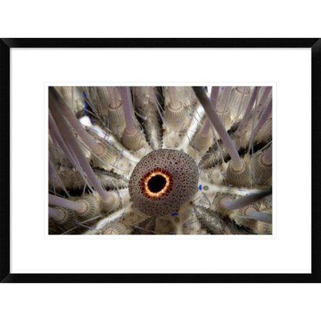 Global Gallery Long Spined Sea Urchin Mouth  Red Sea  Egypt Framed Photographic Print