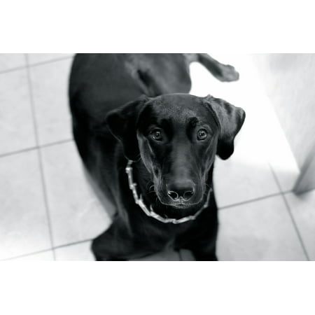 LAMINATED POSTER Black Animal Lab Cute Pet Canine Puppy Dog Poster Print 24 x 36