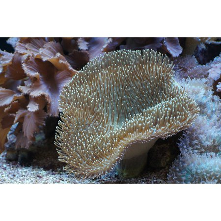 Peel-n-Stick Poster of Underwater World Coral Mushroom Leather Coral Poster 24x16 Adhesive Sticker Poster Print