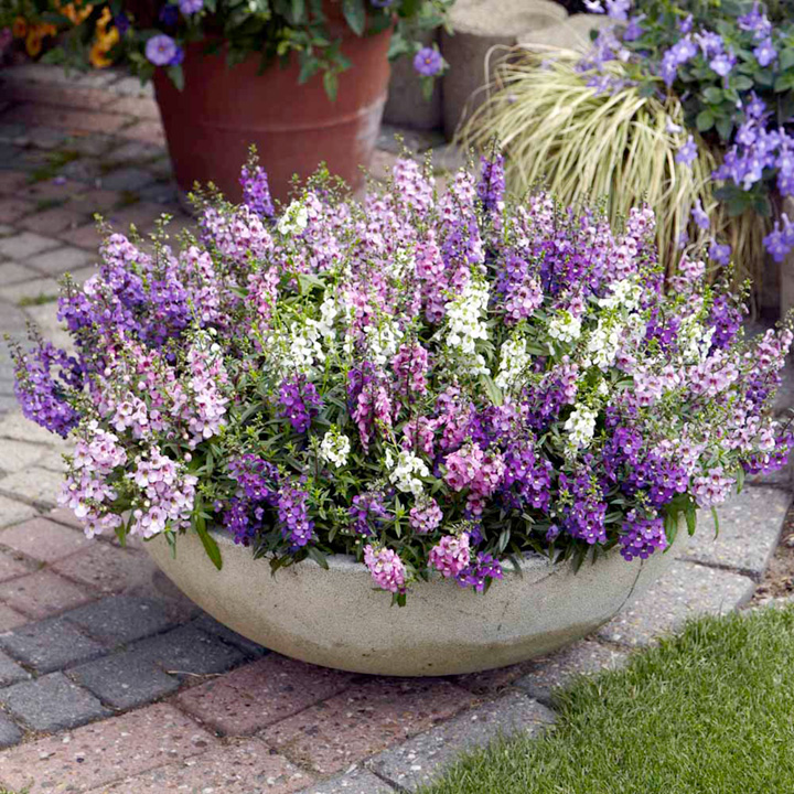 Image of Angelonia Potted