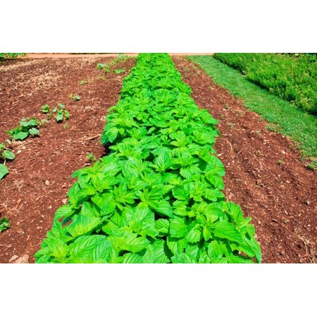 Vegetable garden at Thomas Jeffersons Monticello in Charlottesville Virginia Poster Print by Panoramic
