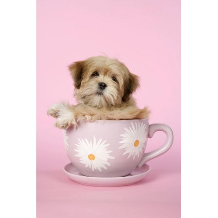 Lhasa Apso 12 Week Old Puppy in Tea Cup Print Wall Art