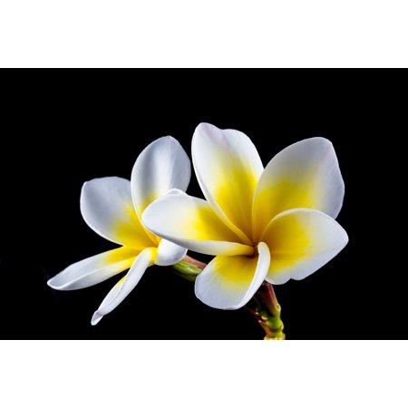 LAMINATED POSTER Plumeria Blossom Frangipani Flower White Bloom Poster Print 24 x 36