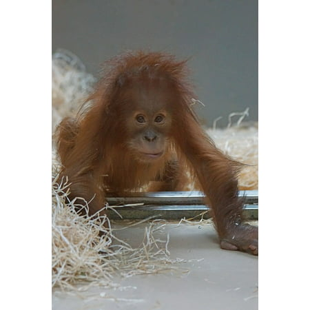 Framed Art for Your Wall Orang-utan Young Animal Yearling Primate Monkey 10x13 Frame (Monkey Frame)