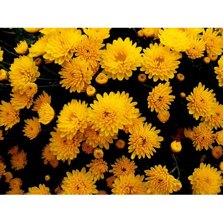 Flower Yellow Chrysanthemums Autumn Nature Flowers Poster Print 24 x 36