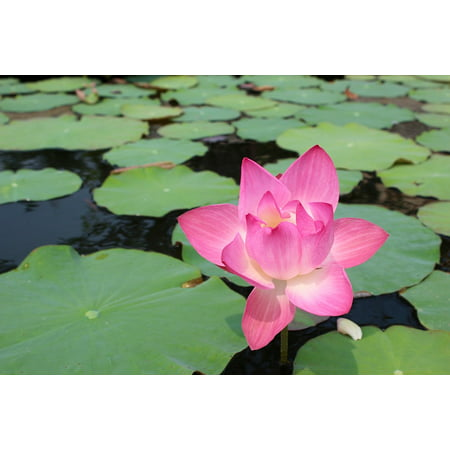 - Canvas Print Purple Water Lily Pond Bloom Blossomed Blossom Stretched Canvas 10 x 14