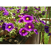 Properties Bed Plant Garden Flower Purple Petunia-24 Inch By 36 Inch Laminated Poster With Bright Colors And Vivid Imagery-Fits Perfectly In Many Attractive Frames