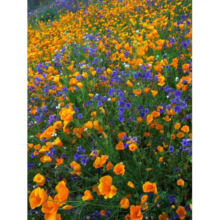 California Poppy and Desert Bluebell flowers Antelope Valley California Poster Print by Tim Fitzharris (Bluebell Crystal)