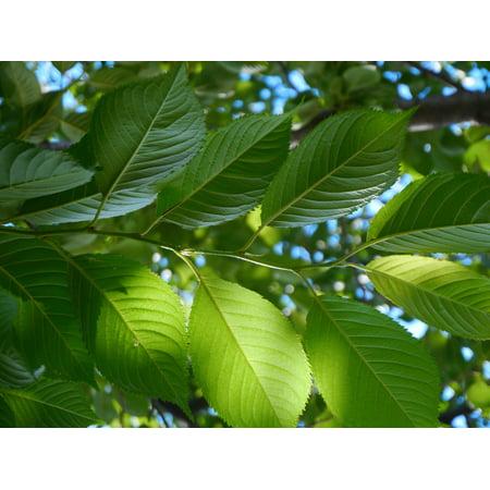 Cherry Tree Leaves - Canvas Print Vein Green Leaf of Cherry Tree Leaf Cherry Stretched Canvas 10 x 14