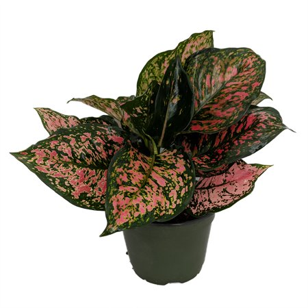 (Red Valentine Chinese Evergreen Plant - Aglaonema - Grows in Dim Light - 6