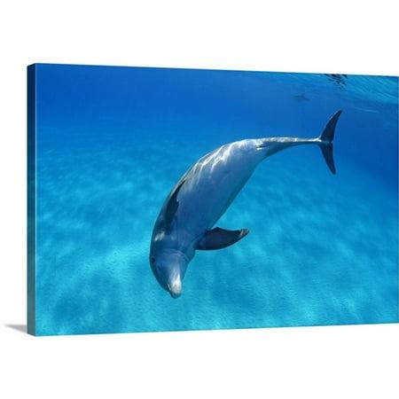 Great Big Canvas Dave Fleetham Premium Thick Wrap Canvas Entitled Caribbean  Bahamas  Bahama Bank  Atlantic Bottlenose Dolphin
