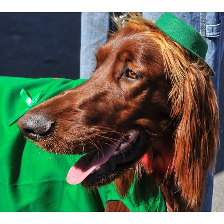 Laminated Poster Dog Breeds Pets Dogs Irish Setter Animals Poster Print 11 x 17 ()