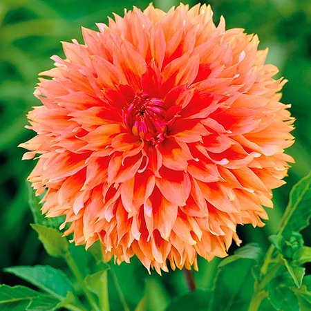 Orange Fubuki Dahlia - Huge Dinnerplate Fimbriata Flower - #1 Size Root Clump