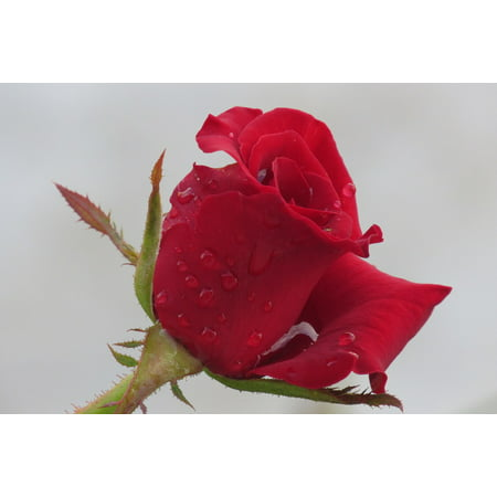 Canvas Print Fresh Bloom Dew Petal Red Rose Wet Nature Flower Stretched Canvas 10 x