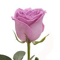 "Natural Fresh Flowers - Lavender Roses, 20"", 50 Stems"