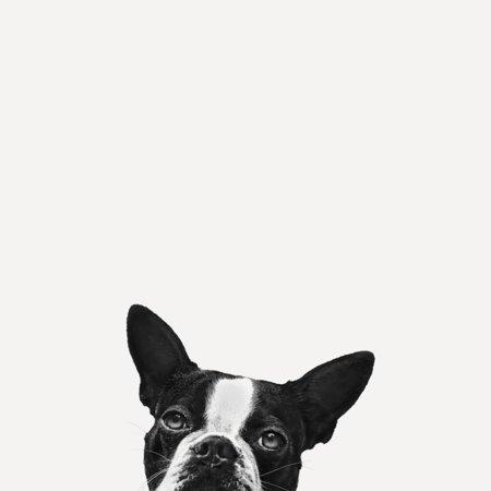 Loyalty Dog Black and White Photo of Boston Terrier Peeking Print Wall Art By Jon Bertelli