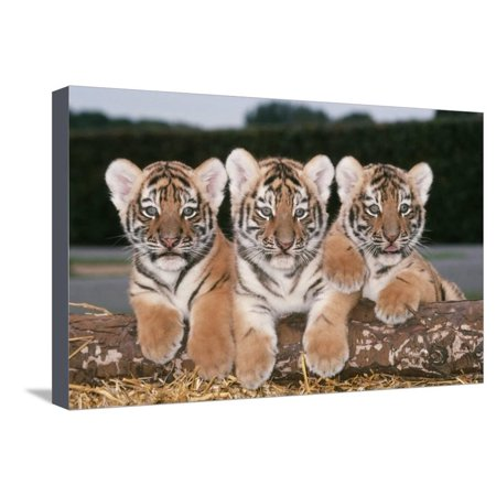Siberian Amur Tiger Cubs X Three in a Row Stretched Canvas Print Wall - 2 Row Tiger