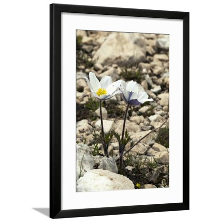 Alpine Pasque Flower (Pulsatilla Alpina) Framed Print Wall Art By Paul Harcourt Davies ()