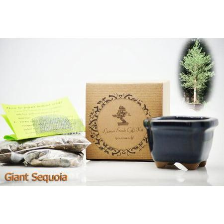 9GreenBox - Giant Sequoia Bonsai Seed Kit- Gift - Complete Kit to Grow Giant Sequoia Bonsai from