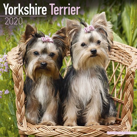 Nba Calendrier 2020.Yorkshire Terrier Calendar 2020 Yorkshire Terrier Dog Breed Calendar Yorkshire Terriers Premium Wall Calendar 2020