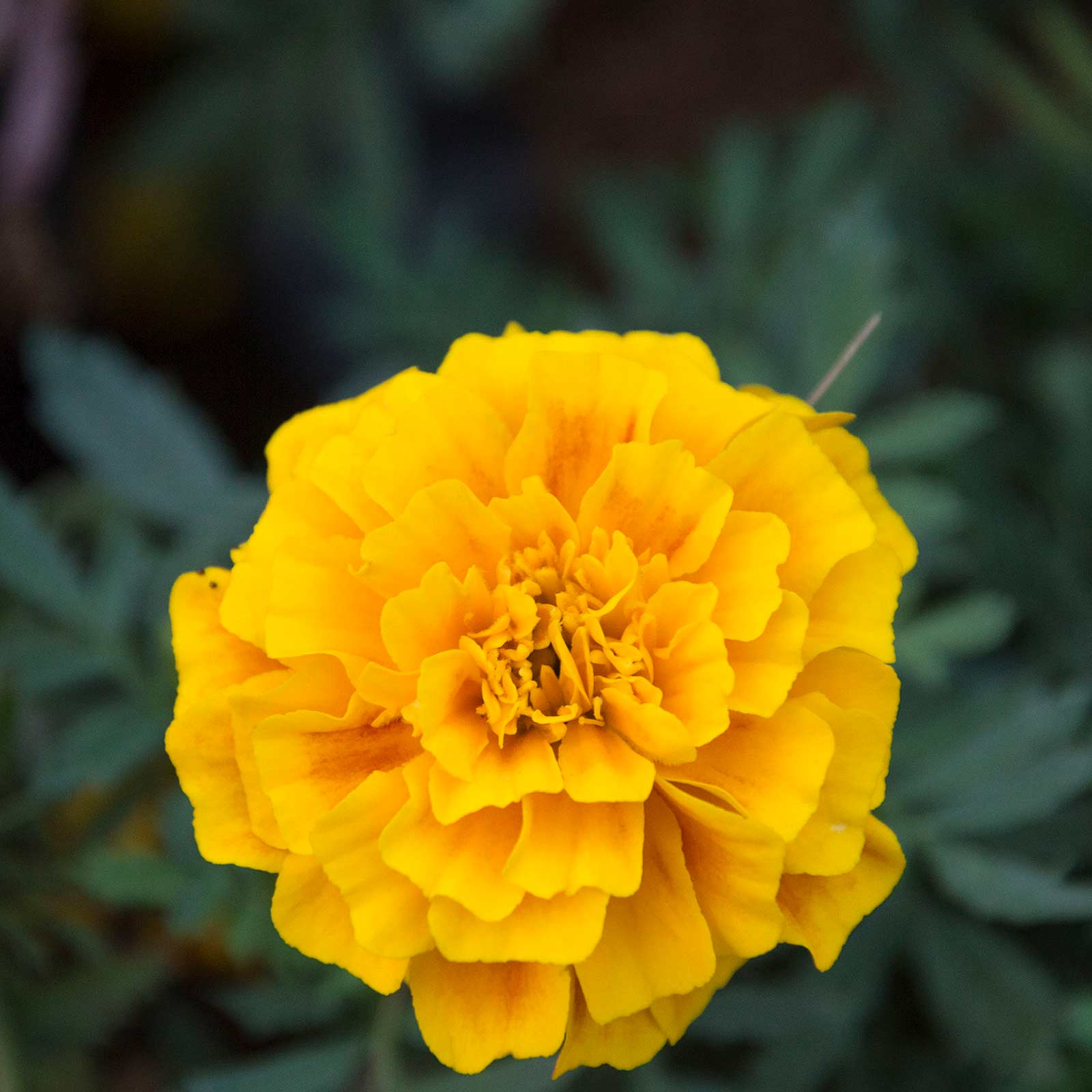 French Marigold Flower Garden Seeds - Hero Series - Flame - 1000 Seeds - Annual Flower Gardening Seeds - Tagetes patula