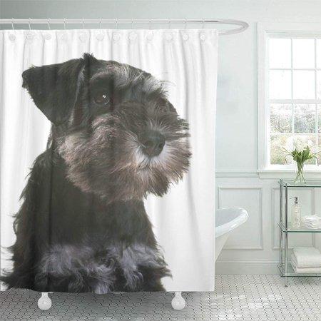 KSADK Animal Puppy Miniature Schnauzer in Front of White Black Dog Little Pet Studio Young Shower Curtain 66x72 inch (Black White Miniature Schnauzer)