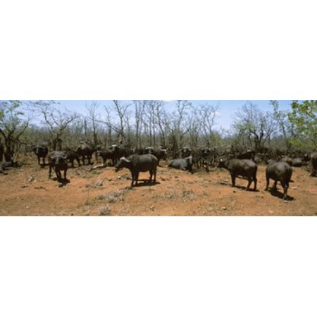 South African Coat Of Arms (Herd of Cape buffaloes (Syncerus caffer) wait out in the minimal shade of thorn trees Kruger National Park South Africa Canvas Art - Panoramic Images (18 x)
