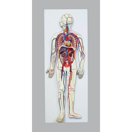 Walter Products Human Circulatory System, 2 Parts