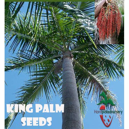 25 King Palm seeds (Archontophoenix cunnighamiana) from Hand Picked Nursery