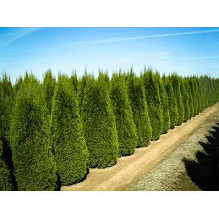 Emerald Green Arborvitae, 4 Separate Plants in 4 Separate Pots, 6-14 inches