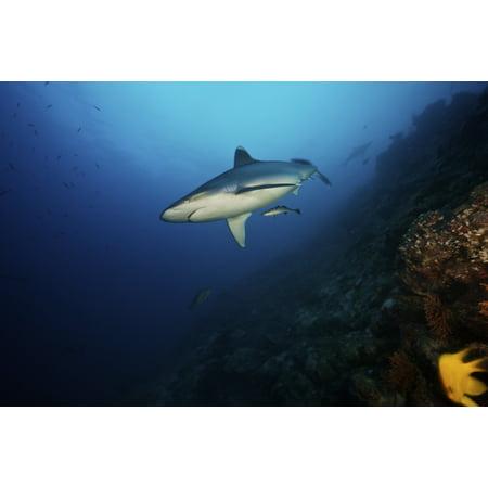 A large silvertip shark on a deep reef in Fiji Poster - Deep Reef