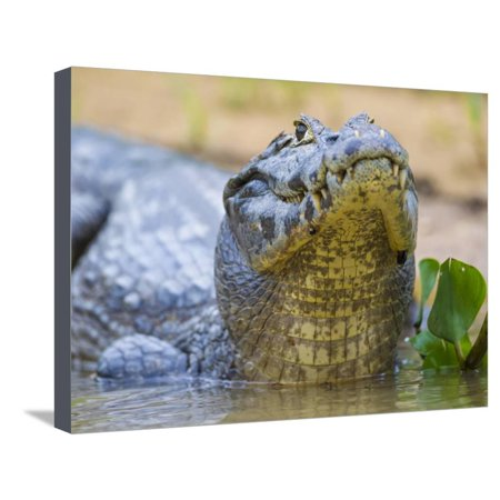 Brazil. A spectacled caiman in the Pantanal. Stretched Canvas Print Wall Art By Ralph H. (Raymond Spectacles)